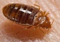 A closeup of a bed bug (Photo: Wikimedia)